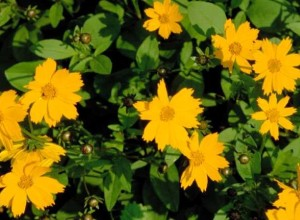 The bright yellow lobed coreopsis is a native of the southeastern United States.